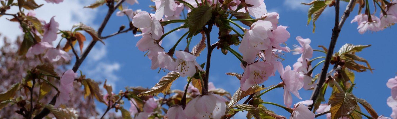 Spring Sakura Kutchan Area 4