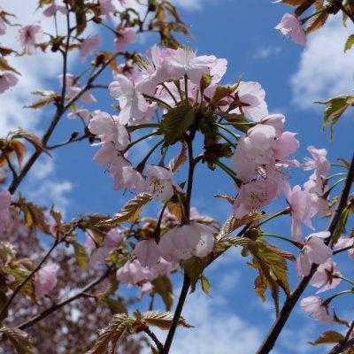https://d2zvpvpg8wrzfh.cloudfront.net/news/Spring-Sakura-Kutchan-Area-4.JPG