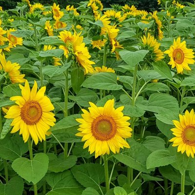https://d2zvpvpg8wrzfh.cloudfront.net/news/sunflowers.jpg?mtime=20180901181244&focal=none