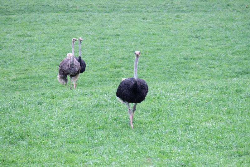 Niseko Ostrich Farm 2
