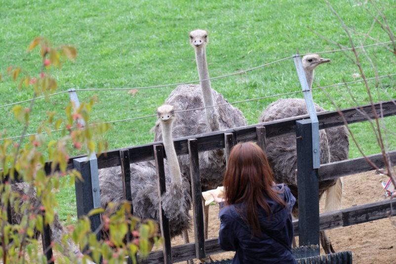 Niseko Ostrich Farm 4
