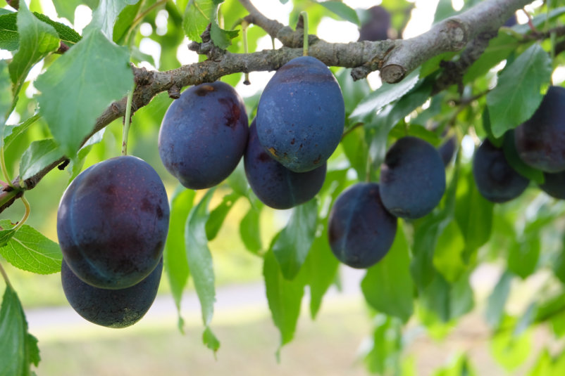 Plum Picking