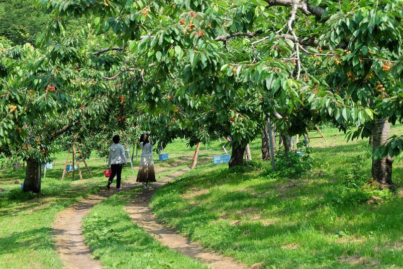 Cherries Picking 13