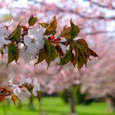 Hokkaido Sakura